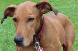 Bonnie brauner Hund