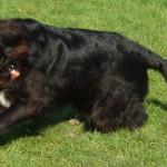 Hund rennt über die Wiese Freilauf