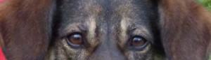 Hund schaut