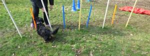 Hund läuft durch Stangen Parcour Freilaufgelände