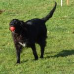 Hund spielt mit Ball auf dem Freilaufgelände