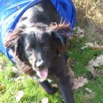 Einzeltraining statt Hundeschu Einzeltraining statt Hundeschule: Hund krabbelt durch Tunnel