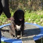 Einzeltraining statt Hundeschule: Hund sitzt auf Trampolin