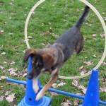 Parcour Hund springt durch Reifen