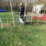 Parcour Hund läuft durch Stangen und schaut Frauchen an